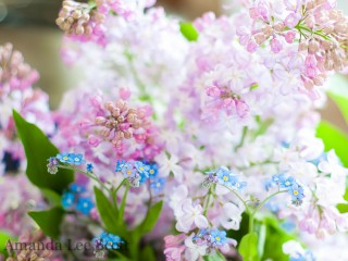 Backyard Lovely Lilacs And Forget-Me-Nots
